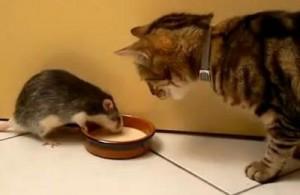 soarecele si pisica