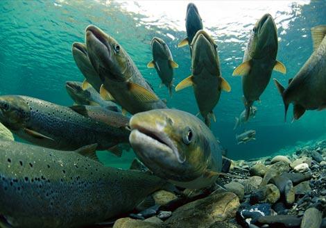 spawning-atlantic-salmon-738342-ga1