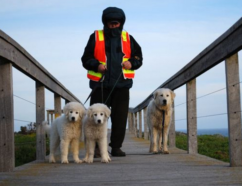 Câini din rasa Maremma