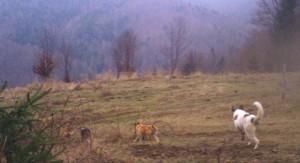 Feral-dog-pack_SC3