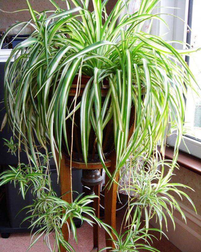 Planta paianjen - sursa: adme.ru