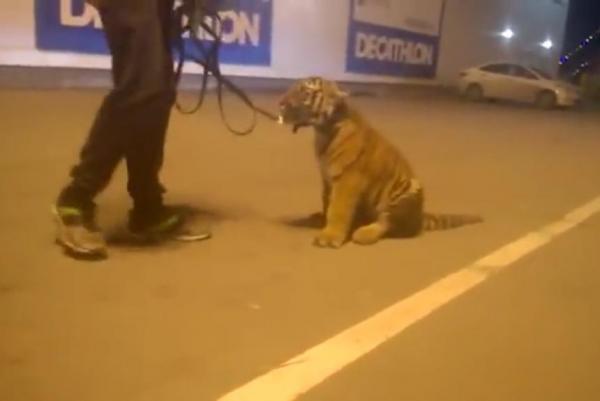 tigru la plimbare