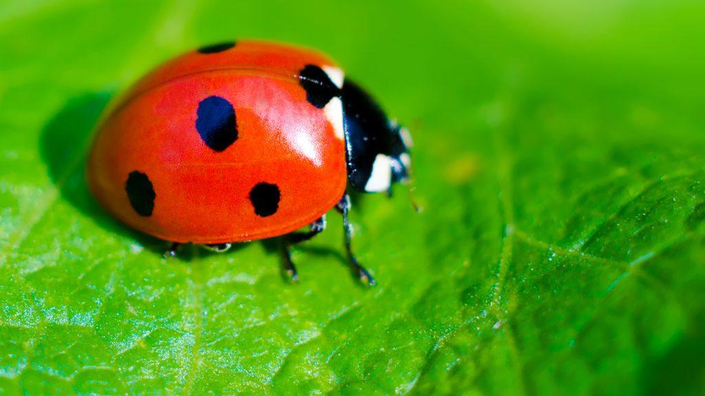 ladybug-leaf