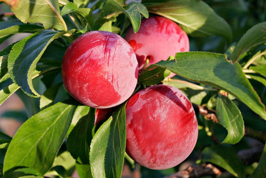 prune rosii