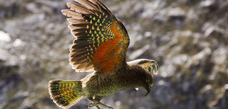 papagalul-kea