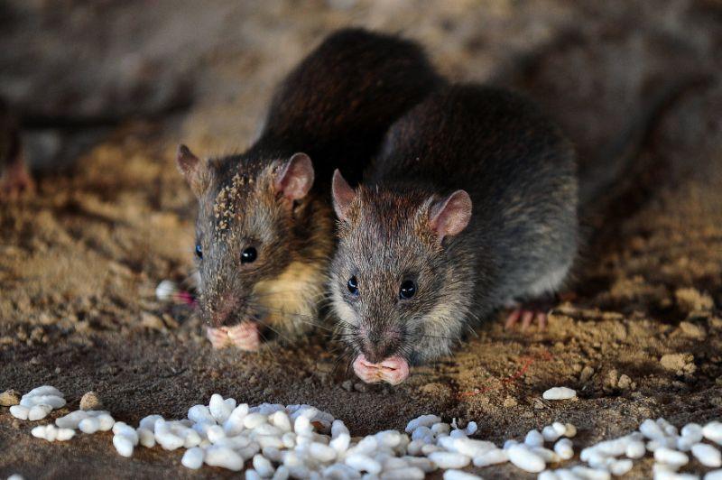 rats_photo_afp