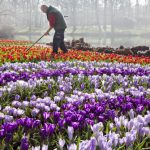 Employees of the Keukenhof, the world's largest flower garden situated near Lisse, in The Netherlands, is preparing for the opening of the season scheduled next week. AFP PHOTO / ANP - KOEN SUYK = netherlands out / AFP PHOTO / ANP / KOEN SUYK