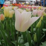 A picture taken on April 12, 2016 shows tulips at the world's largest bulb garden of Keukenhof in Lisse. Millions of bulbs have blossomed in a riot of colour from Delft blues to reds and porcelain whites, drawing huge crowds to an annual Dutch springtime rite at the renowned Keukenhof gardens. The world's largest bulb garden, which boasts some seven million flowers, has  depicted in flowers this year's theme of the Netherlands Golden Age.  / AFP PHOTO / Sophie MIGNON