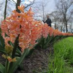 A picture taken on April 12, 2016 shows hyacinths at the world's largest bulb garden of Keukenhof in Lisse. Millions of bulbs have blossomed in a riot of colour from Delft blues to reds and porcelain whites, drawing huge crowds to an annual Dutch springtime rite at the renowned Keukenhof gardens. The world's largest bulb garden, which boasts some seven million flowers, has  depicted in flowers this year's theme of the Netherlands Golden Age.  / AFP PHOTO / Sophie MIGNON