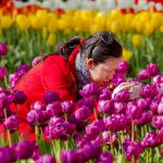 A woman takes a picture of tulips during a sunny Easter day at the Keukenhof flower show in Lisse, on April 20, 2014.   AFP PHOTO / ANP / SANDER KONING    ***netherlands out*** / AFP PHOTO / ANP / Sander KONING