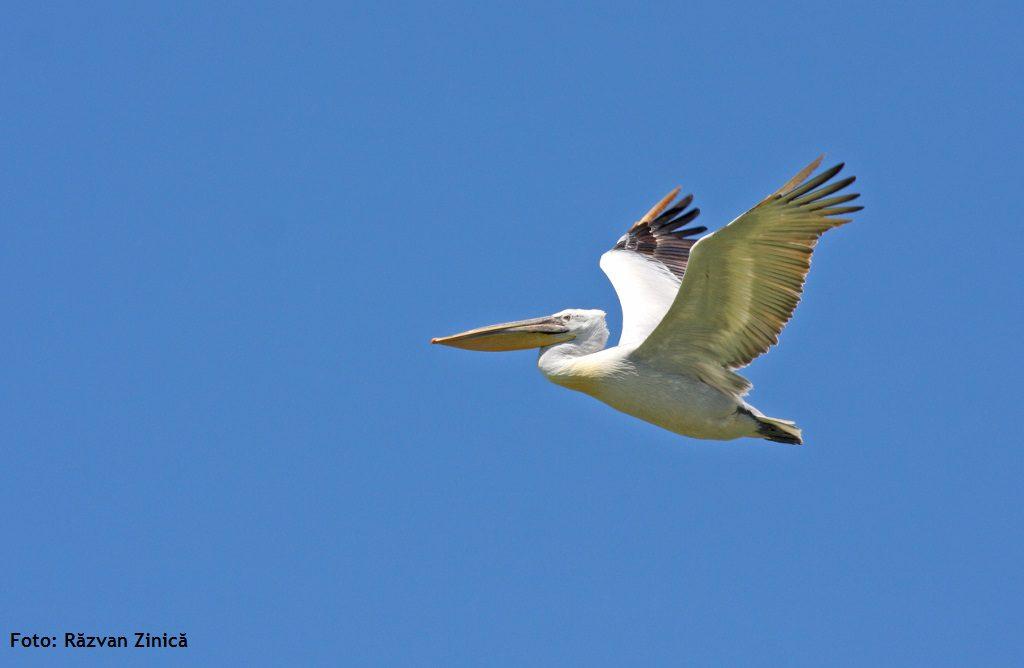 Pelican cret