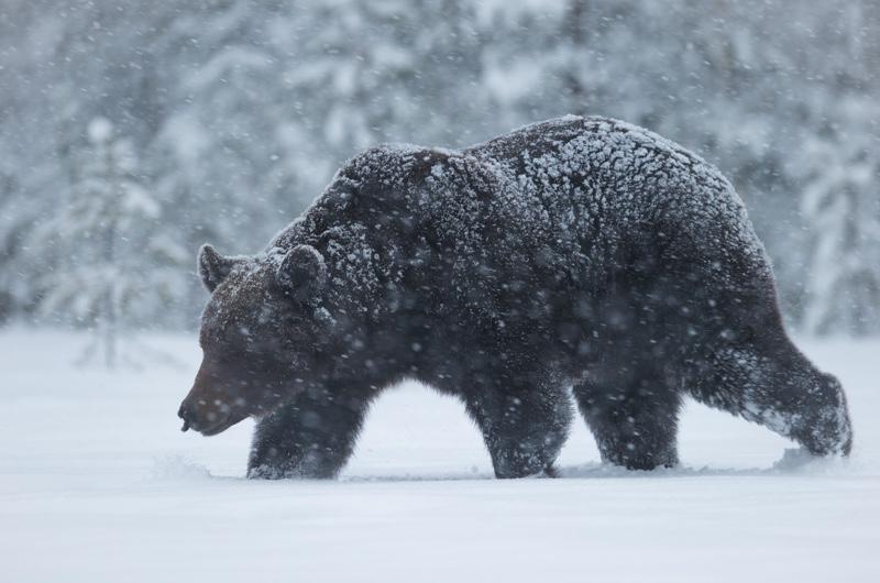 urs iarna